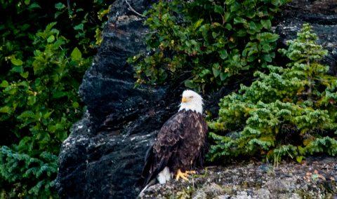 Bald Eagle, Gulf of Alaska