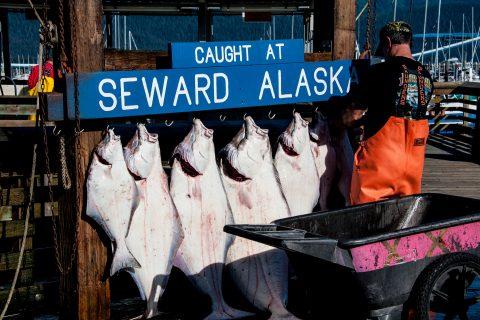 Todays catch at Seward, Alaska