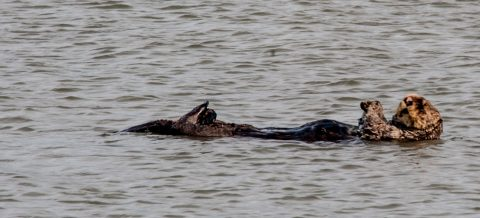 Sea otter off Homer Spit beach, Alaska