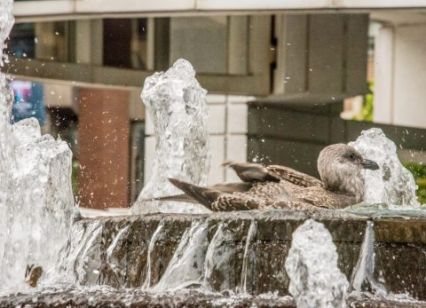 Pigeon washing, Harbour, Vancouver
