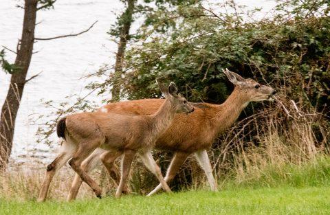 Deer, Quadra Island