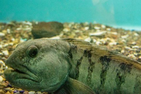 Wolf fish, Aquarium, Lunenburg, NS