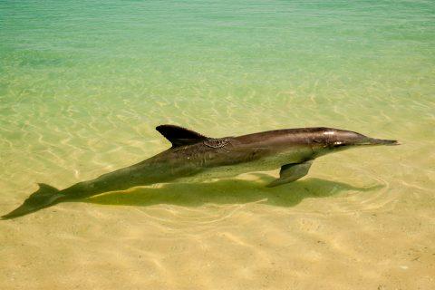 Dolphin, Monkey Mia, Shark Bay, WA