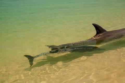 Baby dolphin, Monkey Mia, Shark Bay, WA