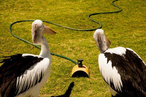 What is it? pelicans, Monkey Mia, Shark Bay, WA
