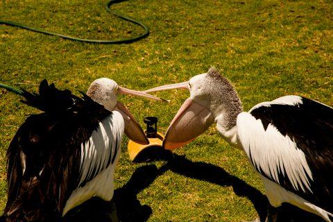 Mine! Pelicans, Monkey Mia, Shark Bay, WA