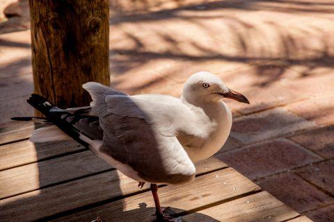 Seagull visitor, Molkey Mia. Shark Bay, WA