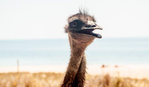 Emu, Monkey Mia, Shark Bay, WA