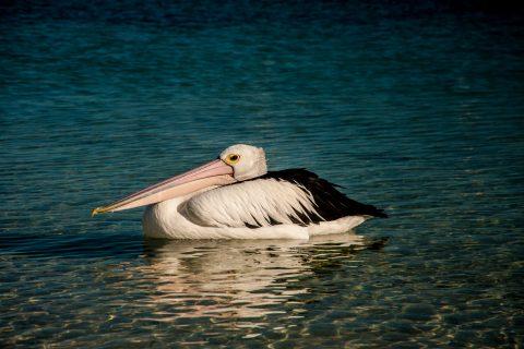 Pelican, Monkey Mia, Shark Bay, WA