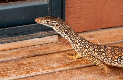 Lizard, Monky Mia, Shark Bay, WA