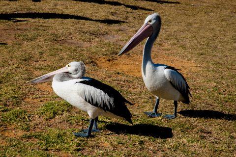 Pelicans, Kalbarri, WA