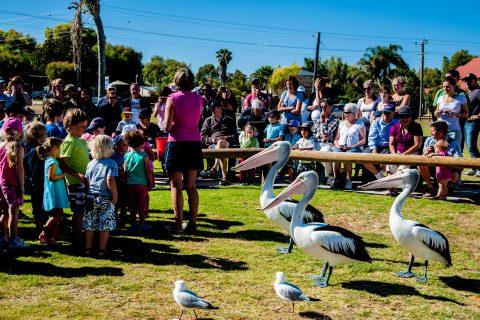 Pelicans feeding time, Kalbarri, WA