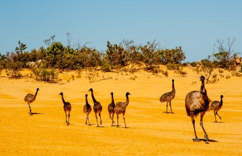 Emu family, Pinnacles Desert, Nambung  NP, Cervantes, WA