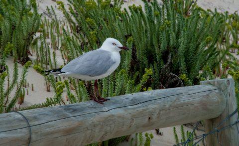 Silver backed gull, Hamelin Bay, WA