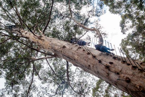 Climbing the Gloucester Tree - fire look tree - Karri Forest, Pe