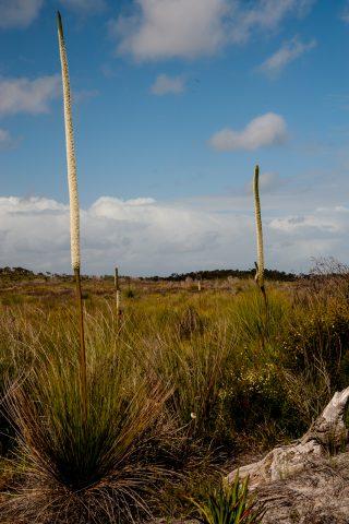 Grass trees (also known as blackboys), Pemberton, WA