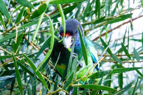 Green parrot, Karri Valley resort, Pemberton, WA