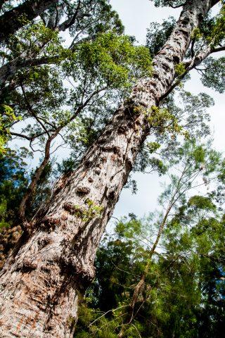 Karri eucalypt, Valley of the Giants, Nornalup, WA