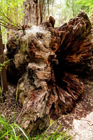 Red Tingle eucalpyt root, Valley of the Giants, Nornalup, WA