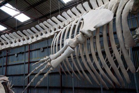 Pygmy Blue Whale skeleton, Whale World, Albany, WA