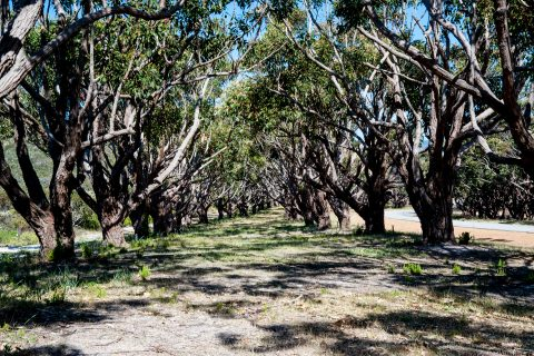 Avenue of trees dedicated to individuals lost in war, Albany WA