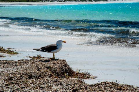 Pacific Gull, Lucky Bay, Esperance, WA