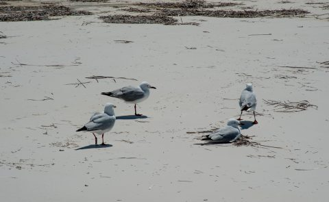 Silver gulls, Lucky Bay, Esperance, WA