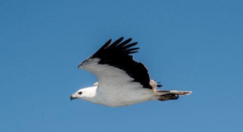 White bellied sea eagle, off Esperance, WA