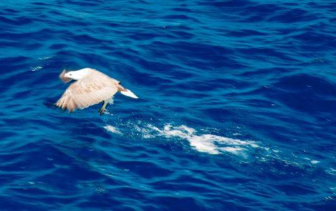 White bellied sea eagle with fish, off Esperance, WA