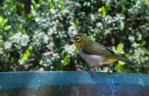 Silver eye finch, Woody Island, Esperance, WA