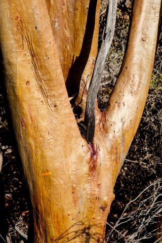 Eucalyptus, Hyden WA