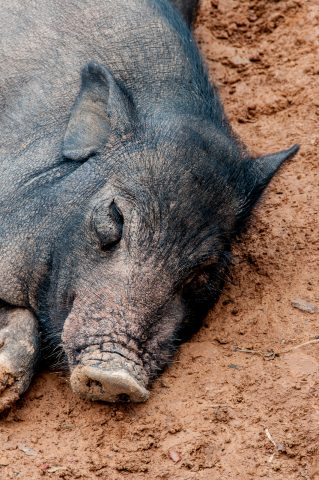 Pig, Akha village, Laos