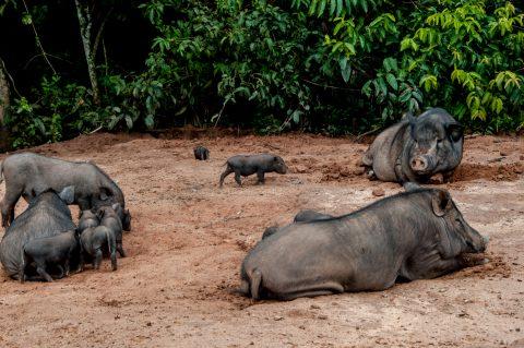 Pigs, Akha village, Laos