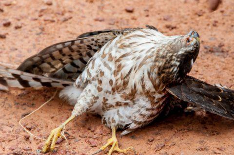 Captured hawk, Akha village, Laos