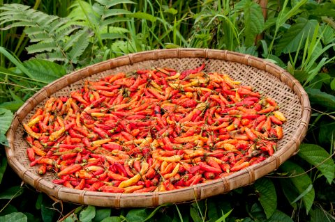 Drying chillis, Akha village, Laos