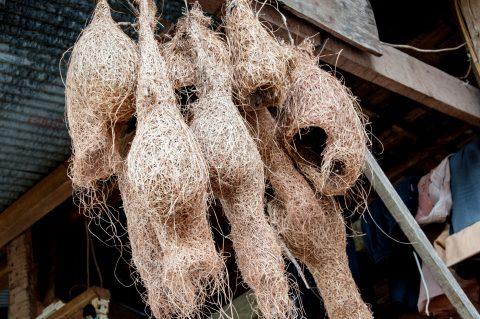 Weaver bird nests, Akha village, Laos