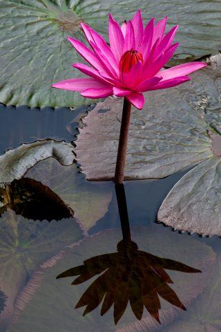 Lotus flower, Luang Prabang, Laos