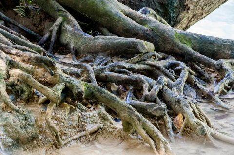 Tree roots, Kuang Si Waterfalls, near Luang Prabang, Laos