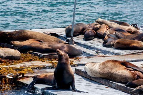 Sea lions, San Diego harbour, california