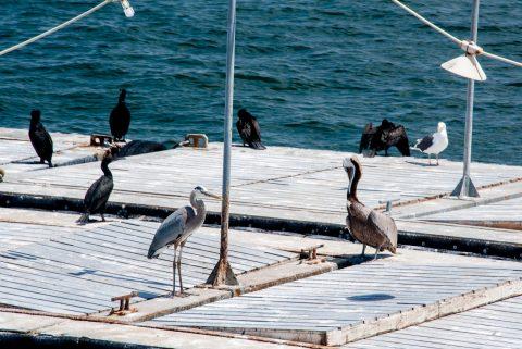 Birds, San Diego harbour, California