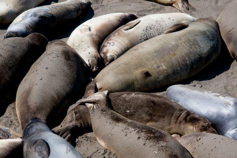 Elephant Seals, San Simeon Bay, California