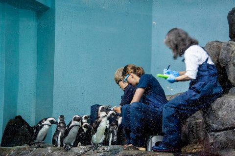 Black Footed Penguins, Monterey Aquarium, California