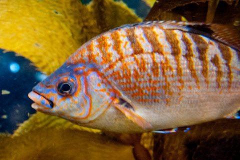 Giantkelp fish, Monterey Aquaium, California
