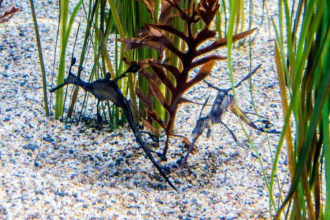 Weedy Seadragon, Monterey Aquarium, California