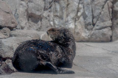 Sea Otters, Monterey Aquarium, California