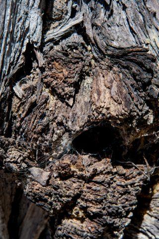 Weathered cypress, Pescadero Point, Monterey, California
