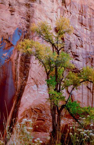 Willow Gulch, Glen Canyon, Utah (1996)