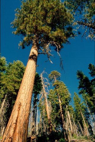 Mariposa Grove, Yosemite (1999)