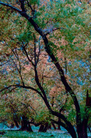 Cottonwoods, Zion Canyon,  Utah (2004)